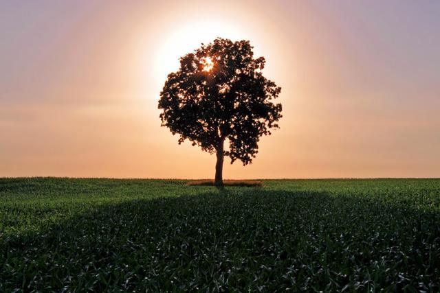Lone Backlit Tree
