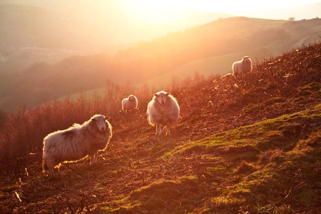 Backlit Sheep