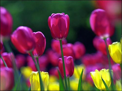 springtulips