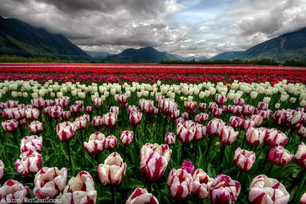 tulip_sea