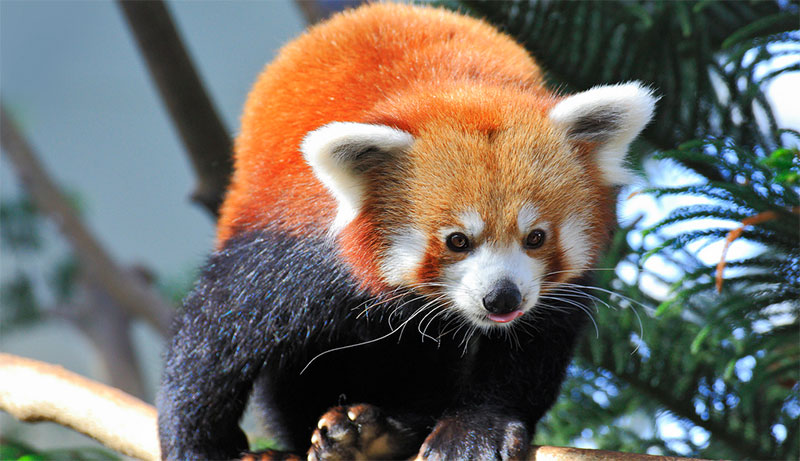 Red Panda, Singapore