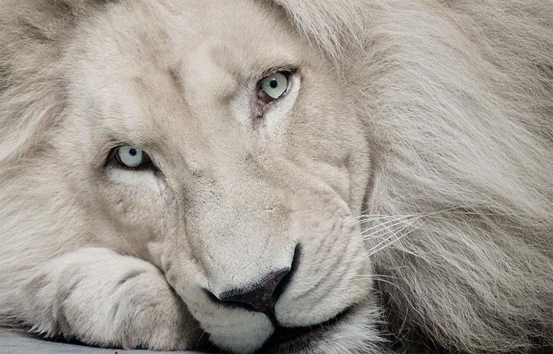 White Lion Haldir