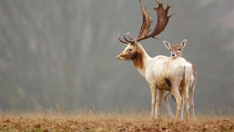 Fallow Deer, England