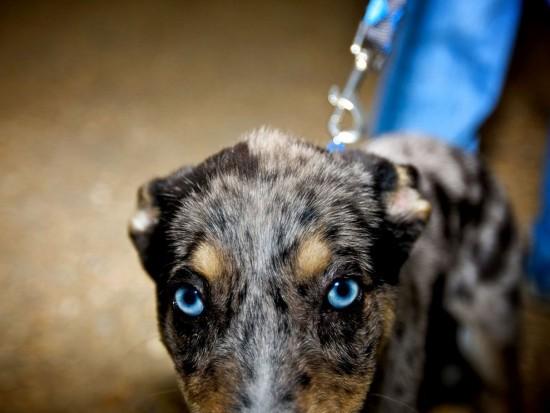 dog-blue-eyes