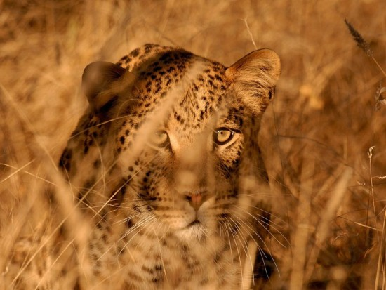 leopard-namibia